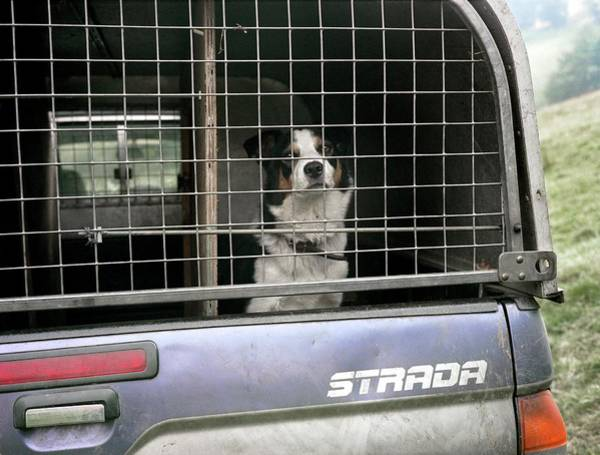 Collie Photograph - Sheepdog In A Truck by Robert Brook/science Photo Library