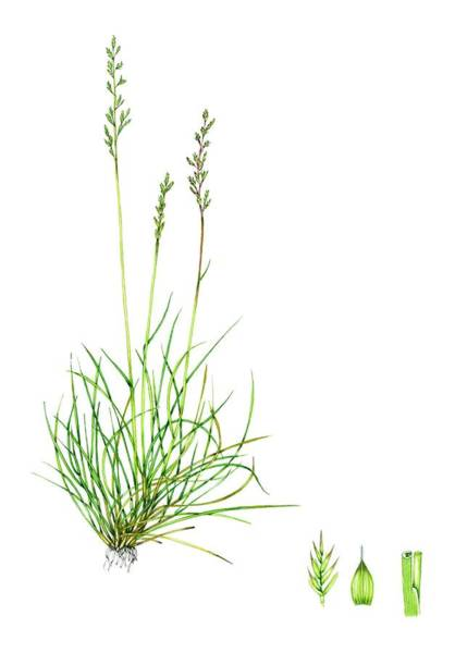 Wall Art - Photograph - Sheep's Fescue (festuca Ovina) by Lizzie Harper/science Photo Library