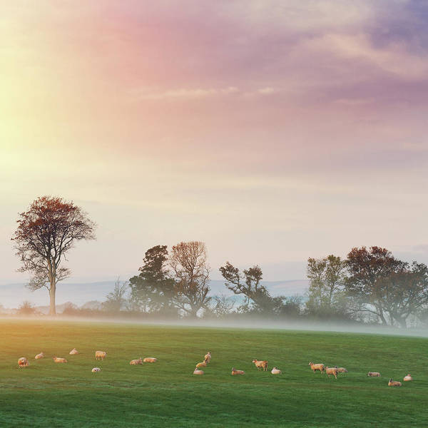 Dawn Photograph - Sheeps On The Pasture At Dawn by Mammuth
