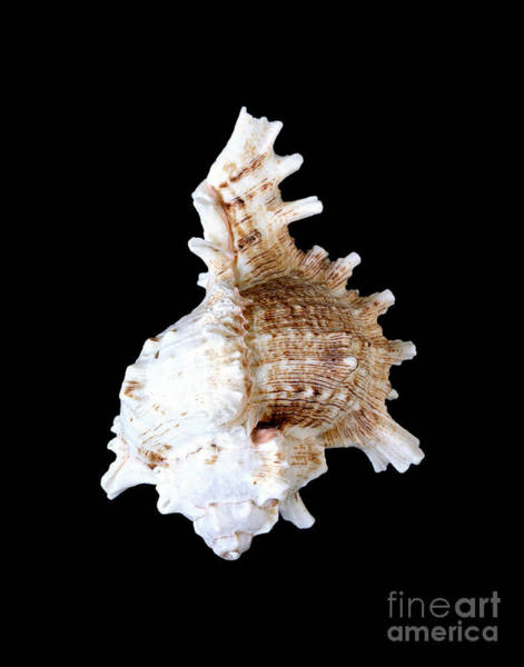 Photograph - Shell 322 by Kate McKenna