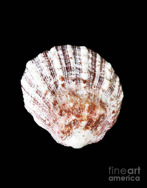 Photograph - Shell 332 by Kate McKenna
