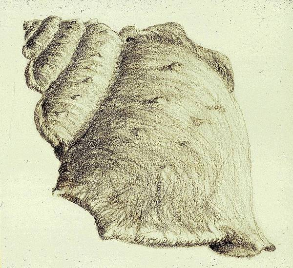 Drawing - Shell by Karen Buford