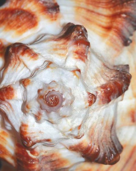 Photograph - Shell by Angela Murdock