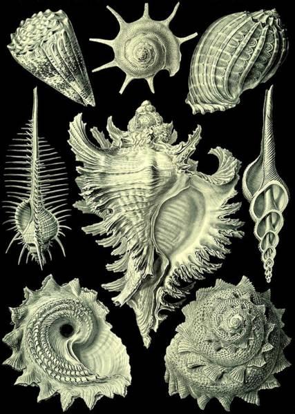 Digital Art - Shellfish Mussels Murex Pecten Prosobranchia Haeckel by Movie Poster Prints