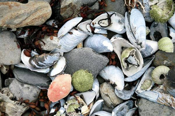 Mussel Wall Art - Photograph - Shells And Pebbles On A Beach by Michael Clutson/science Photo Library