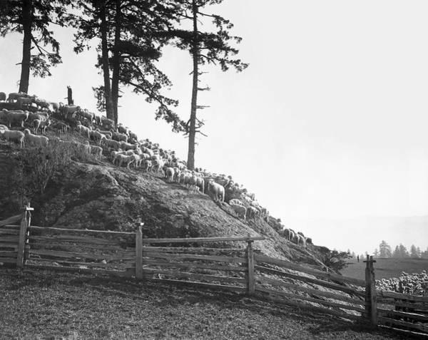 Wall Art - Photograph - Shepherd And Sheep 1893 by Daniel Hagerman