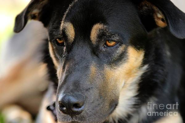Photograph - Shepherd Face by Janice Byer
