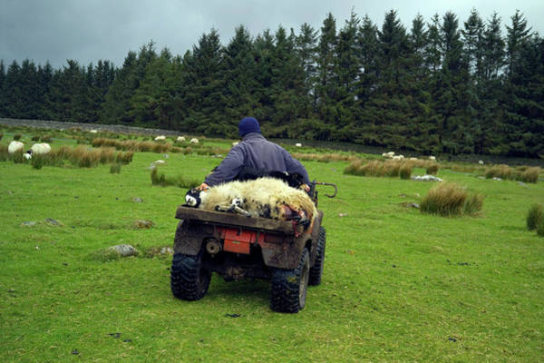 Moorland Photograph - Shepherd Transporting A Female Sheep by Simon Fraser/science Photo Library
