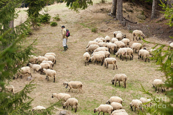 Photograph - Shepherd With Sheep by Les Palenik