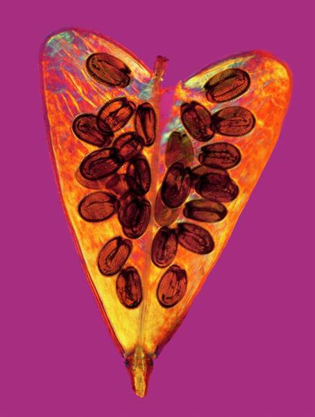 Carpel Photograph - Shepherd's Purse Seed Pod by Steve Lowry