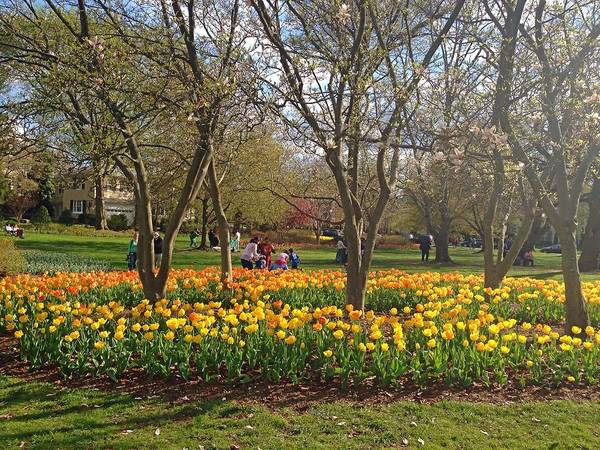 Photograph - Sherwood Gardens Yellow Tulips by Chris Montcalmo