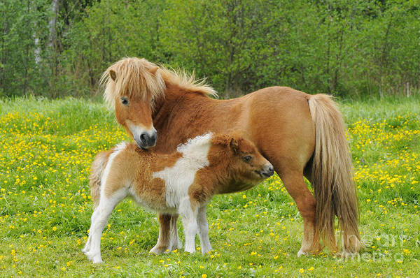 Photograph - Shetland Pony And Young by Paul van Gaalen
