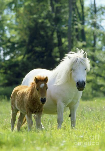 Photograph - Shetland Pony With Foal by Jean-Paul Ferrero
