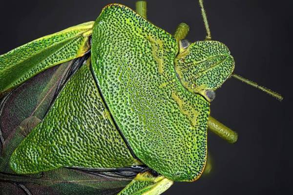 Wing Back Wall Art - Photograph - Shield Bug by Frank Fox