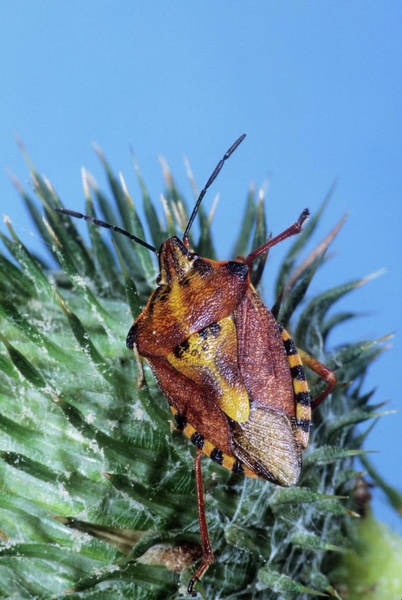 Shield Photograph - Shield Bug by M F Merlet/science Photo Library