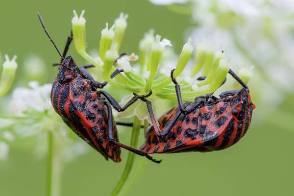 Imago Photograph - Shieldbug - Graphosoma Lineatum by Heath Mcdonald