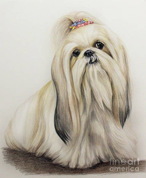 Colored Pencil Drawing Drawing - Shih Tzu by Lena Auxier