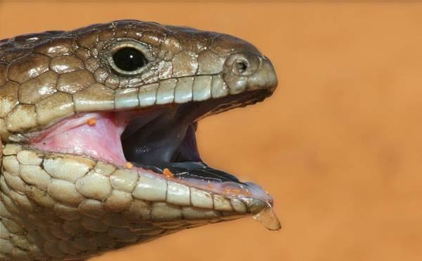 Photograph - Shingle Back Lizard by David Rich