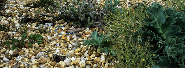 Kale Photograph - Shingle Beach Habitat by Anthony Cooper/science Photo Library