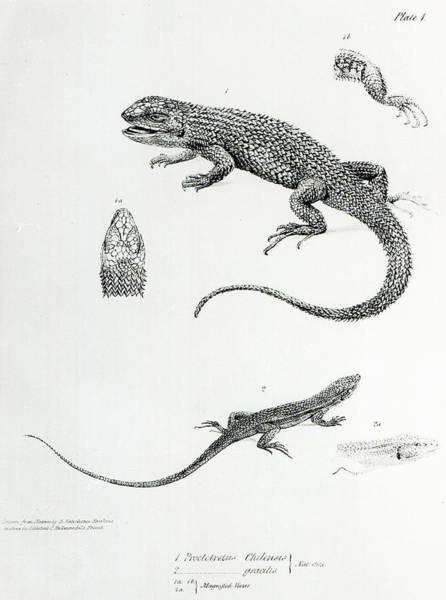Wall Art - Painting - Shingled Iguana by English School