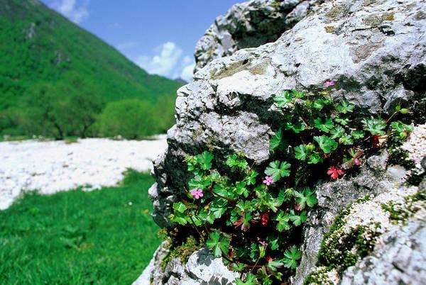 Crevice Photograph - Shining Geranium (geranium Lucidum) by Bruno Petriglia/science Photo Library