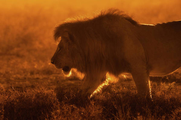 Mane Wall Art - Photograph - Shiny King by Mohammed Alnaser