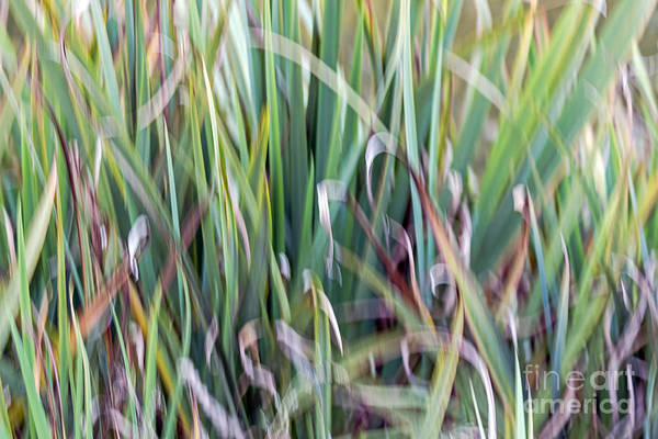 Photograph - Shivering Reeds by Kate Brown