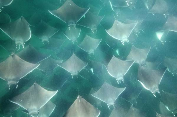 Eagle Ray Photograph - Shoal Of Smoothtail Mobula Rays by Christopher Swann