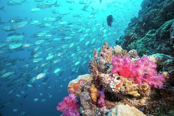 Trevally Photograph - Shoal Of Trevally Swimming Over Reef by Scubazoo/science Photo Library