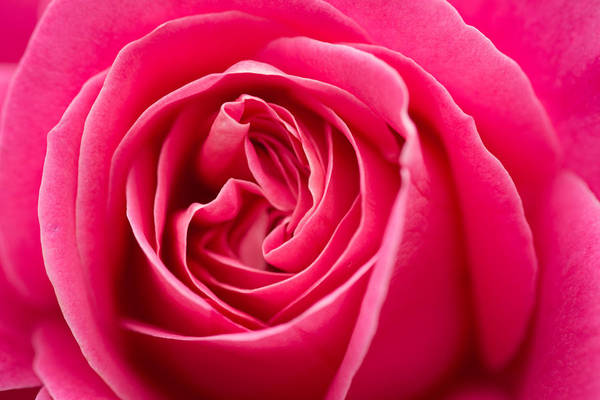 Shocking Pink Rose Art Print