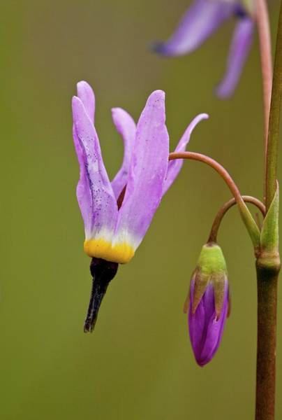 Shooting Star Wall Art - Photograph - Shooting Star (dodecatheon Alpinum) by Bob Gibbons/science Photo Library