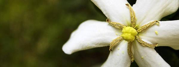 Photograph - Shooting Star Gardenia  by Ben Shields