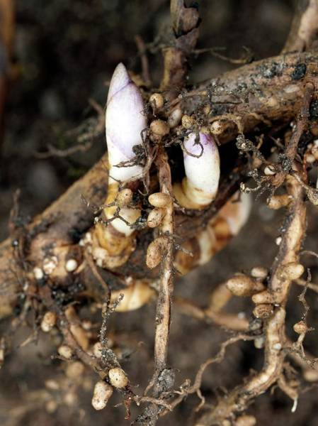 Montana State Photograph - Shoots And Nitrogen-fixing Nodules by Dr Jeremy Burgess/science Photo Library