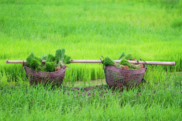 Wall Art - Photograph - Shopping For Transplanting Rice by Jean-claude Soboul