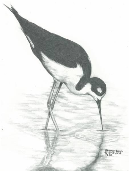 Avian Drawing - Shore Bird by Sharon Blanchard