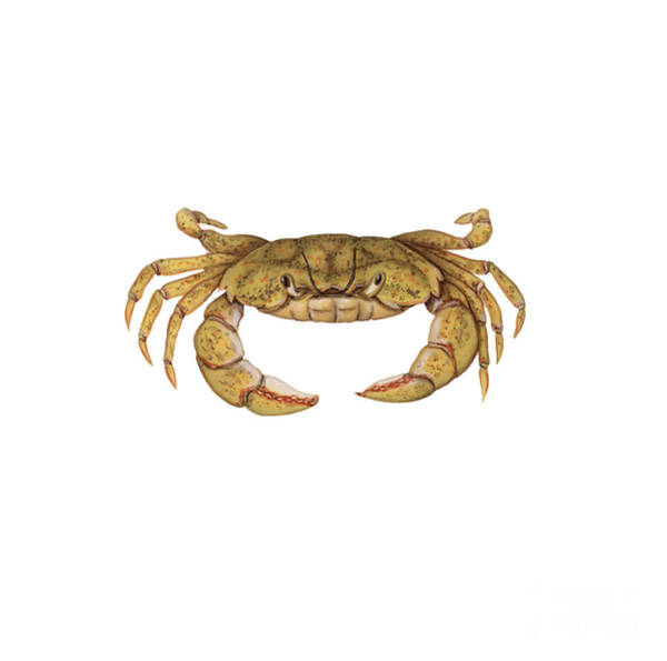 Photograph - Shore Crab by Carlyn Iverson