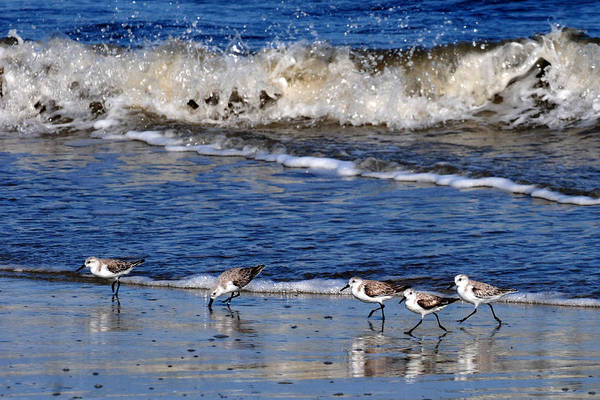 Photograph - Shore Line Feeders  by Peter DeFina