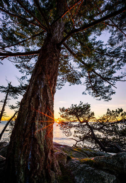 Photograph - Shore Pine Point by Alexis Birkill