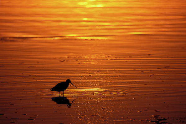 Mission Bay Photograph - Shorebird Sunset Mission Bay Park San by Animal Images