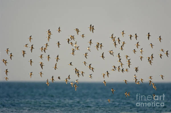 Dunlin Photograph - Shorebirds Flying by Anthony Mercieca
