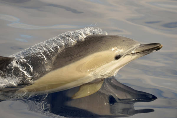 Photograph - Short-beaked Common Dolphin Azores by Malcolm Schuyl