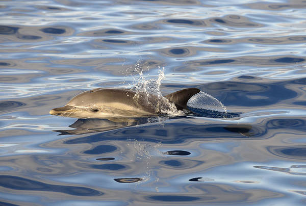 Photograph - Short-beaked Common Dolphins Azores by Malcolm Schuyl
