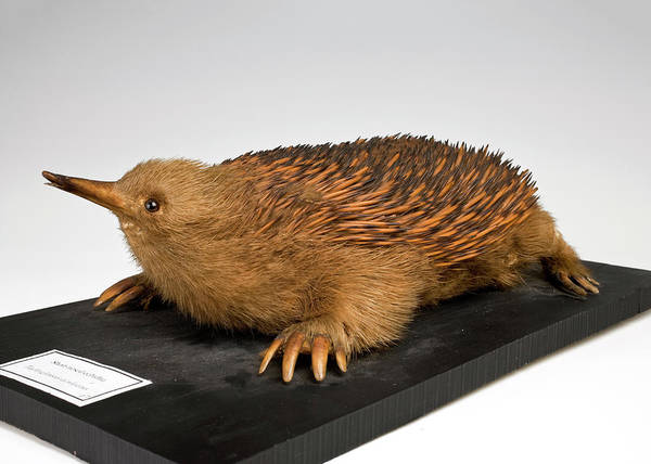 Short Cut Photograph - Short-beaked Echidna by Ucl, Grant Museum Of Zoology