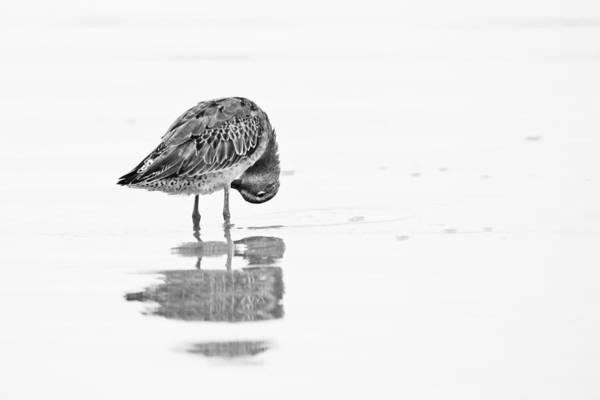 Photograph - Short Billed Dowitcher by Bob Decker