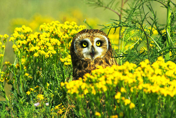 Wall Art - Photograph - Short-eared Owl Amongst Wildflowers by Thomas And Pat Leeson