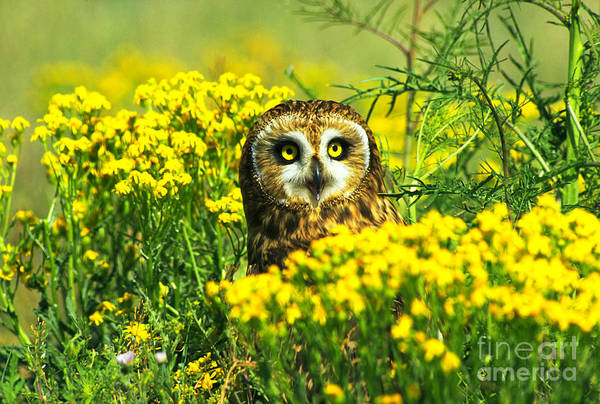 Photograph - Short-eared Owl Amongst Wildflowers by Tom and Pat Leeson