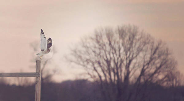 Flying Bird Photograph - Short Eared Owl At Dusk by Carrie Ann Grippo-Pike