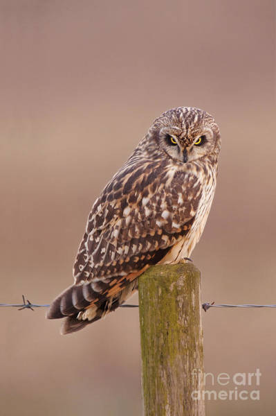 Photograph - Short-eared Owl by Des Ong FLPA
