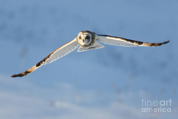 Photograph - Short-eared Owl Flying I by Clarence Holmes
