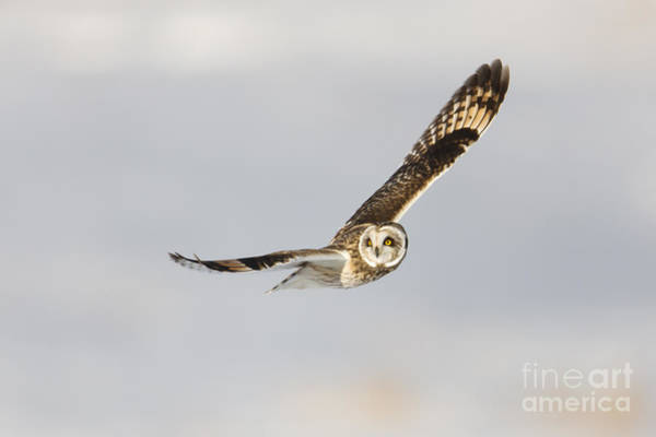 Photograph - Short-eared Owl Flying IIi by Clarence Holmes